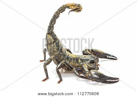 Scorpion ( Pandinus Imperator) On White Background