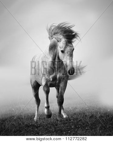 Gray Andalusian Stallion Playing In The Myst