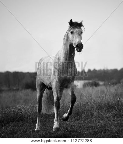 Young Gray Andalusian Stallion Running