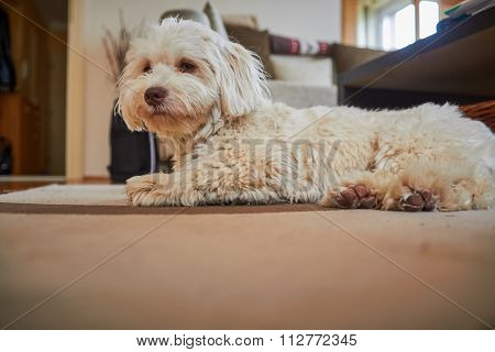 Havanese Dog Lying On The Floor