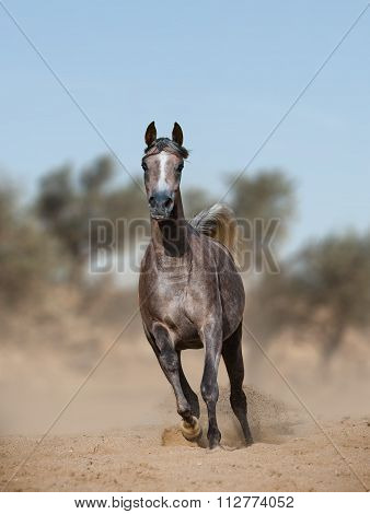 Arabian Horse In Prairies