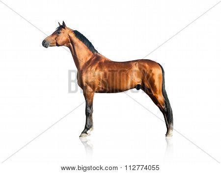 Purebred Arabian Stallion Over A White Background