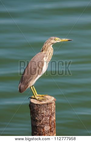 Chinese Pond Heron  In The Nature.