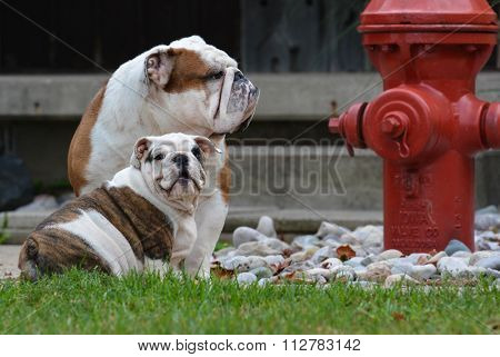 two english bulldogs playing outside by fire hydrant