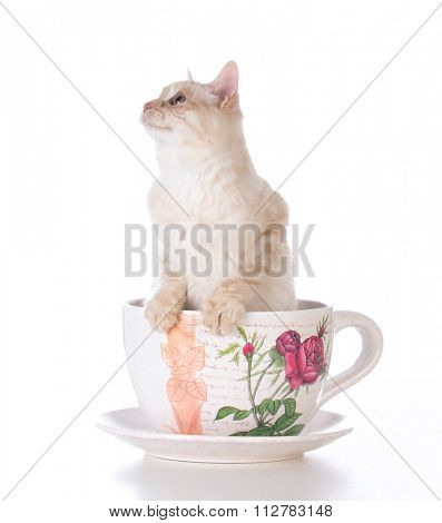 kitten in a teacup on white background