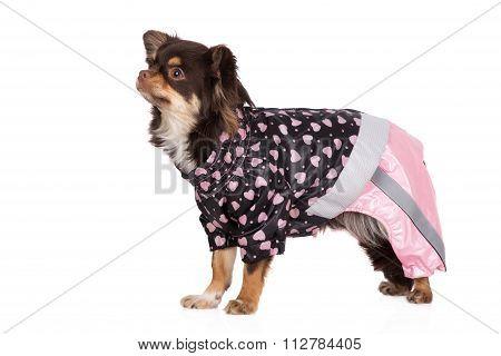 chihuahua dog in a raincoat