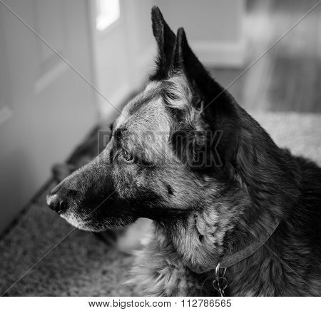 The Attentive Watchdog - German Shepherd in Black and White