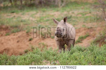 baby rhino in Kruger National Park.
