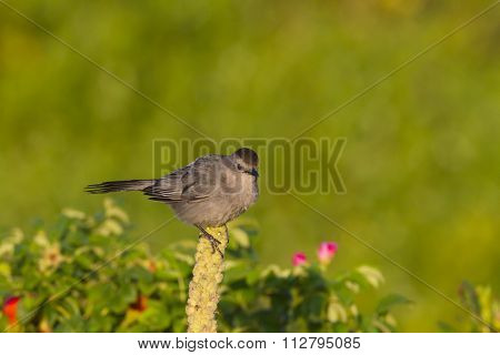 Gray Catbird Perched