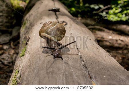 Snail On Log Straight On