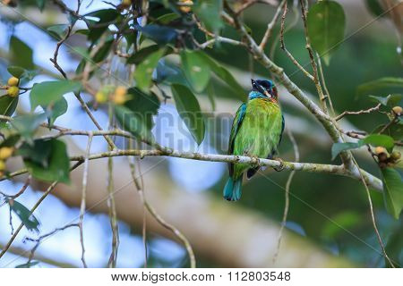 Blue-eared Barbet Sitting On The Fig Tree