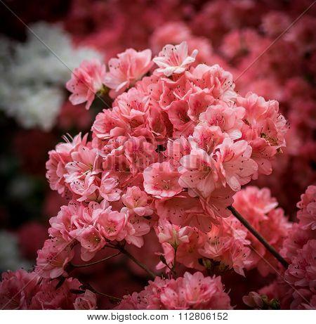 New York City Central Park Cherry Blossoms