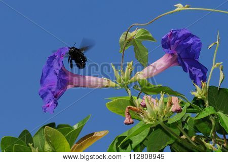 Ca Carpenter Bee and Morning Glories