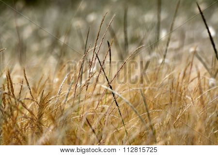 Closeup picture of a young wheat filed in the summer