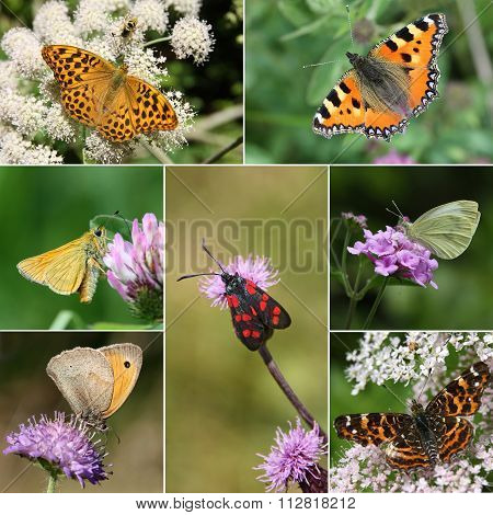 Collage of European Butterfly Species, Series II