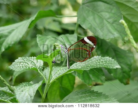 Butterfly glasswing (greta morgane oto)