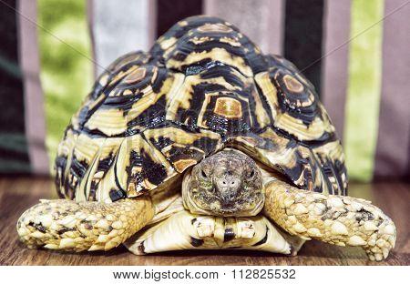 Leopard Tortoise (geochelone Pardalis) Portrait, Animal Theme