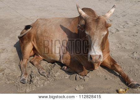 Buffalo s on a beach