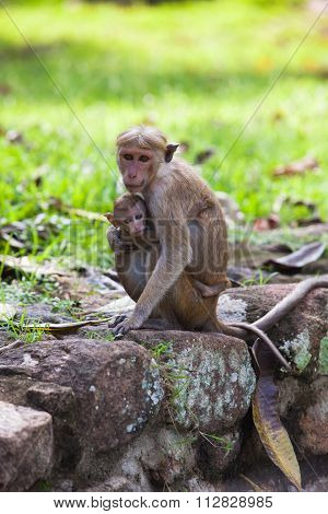 Toque Macaque Monkey - Mother And Baby