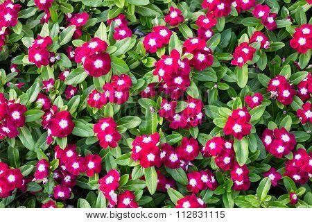 Madagascar Or Periwinkle Or Vinca Flower
