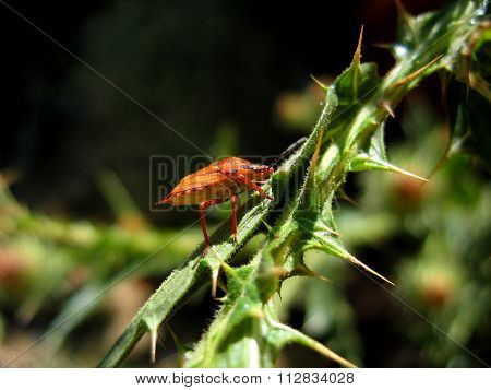 Beetle Soldier Climbs The Stem Of The Plant
