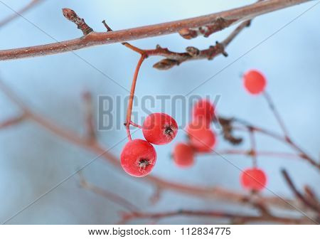 Frosted Red Berries Of Mountain Ash Close-up. Nature