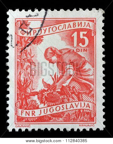 YUGOSLAVIA - CIRCA 1952: A stamp printed in Yugoslavia shows woman to harvest sunflowers, domestic economy series, circa 1952