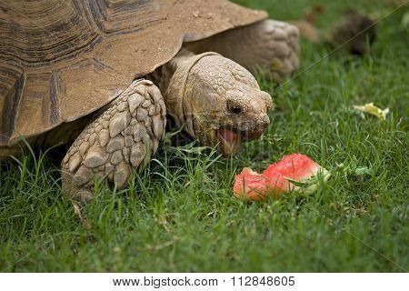 Tortoise Eating Watermelon
