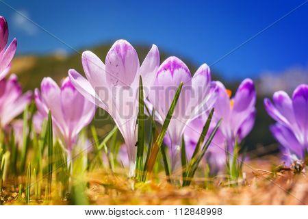 Vintage Blooming Violet Crocuses, Spring Flower