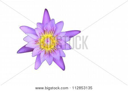 Violet Lotus Flower Top View Has Some Drop Water On The Petal, Isolated On White Background.