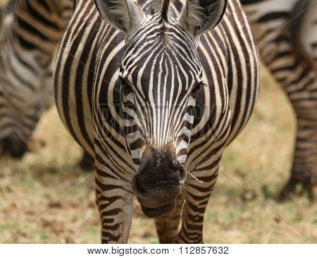 A zebra close up