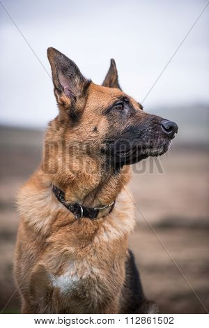 German Shepherd Security Dog Looking