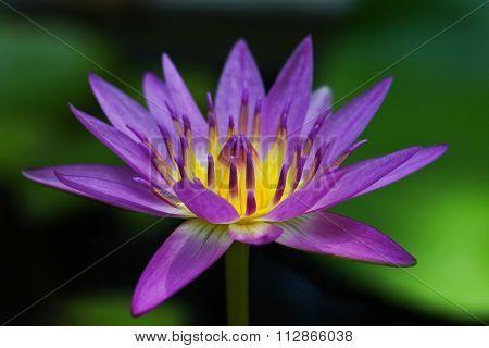 Indian Lotus Or  Sacred Lotus