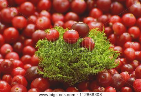 Fresh red cranberries and moss