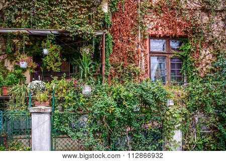 Big Building Covered With Overgrown-plants.window And Garden Covered With Climbing Plants And A Nice