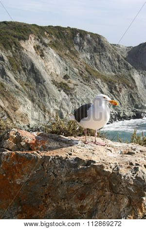 Sea Gull At Big Sur Coast, California, Usa