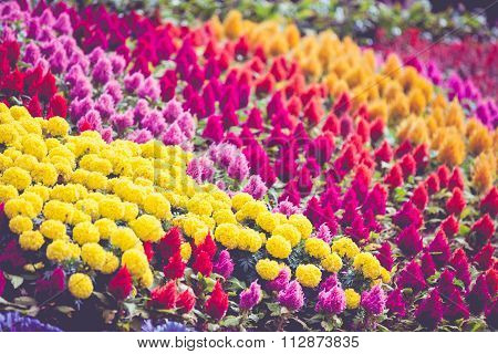 Colorful Flower Blooming In Park, Field Of Flowers.