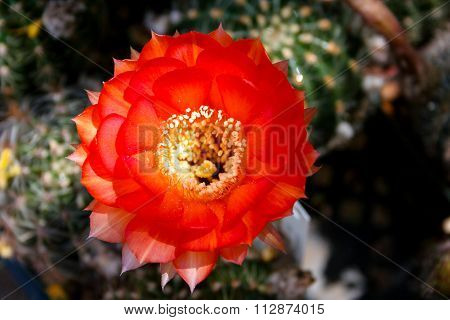 Red Cactus Bloom