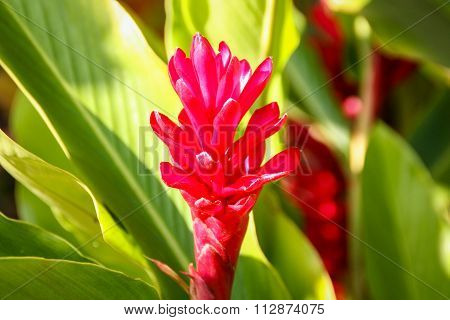 Red Ginger Bloom