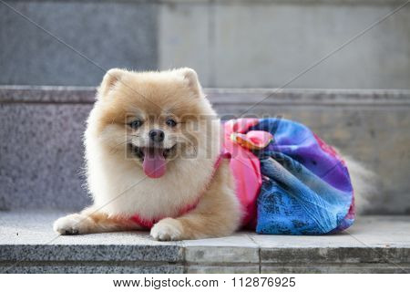 Pomeranian Dog On The Staircase.