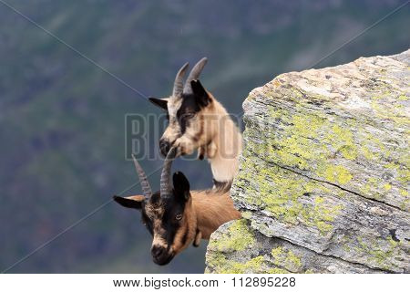Animals Chamois looking from behind a rock