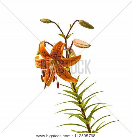 The Branch Of Orange  Lilies Asian Hybrids With Buds And A Blossoming Flower