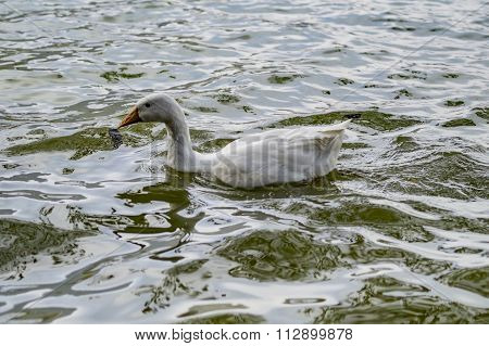 White Duck In Water During Evening Time