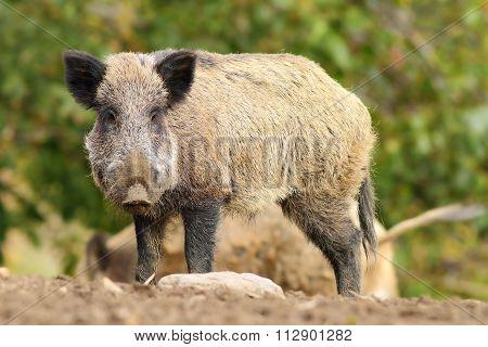 Big Wild Boar