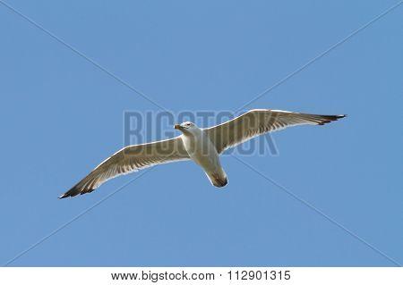 Caspian Gull Flying Over The Sky