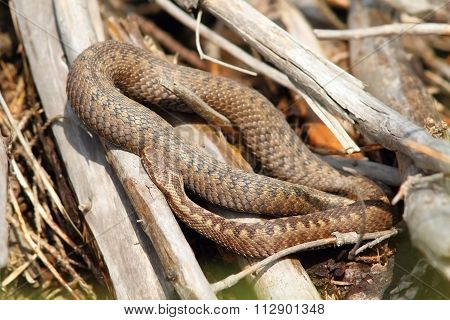 Common Adder Basking In Situ