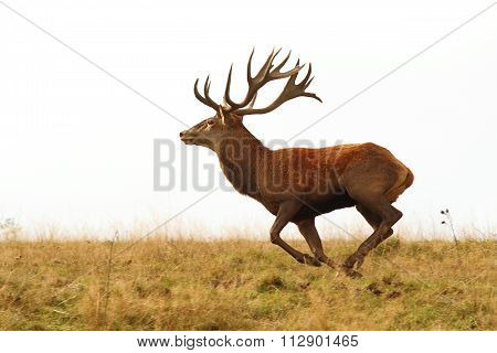 Deer Buck Running Wild