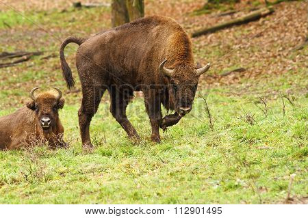 European Bison On Meadow