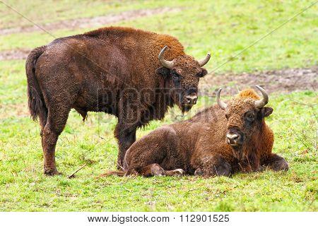 European Bisons On Green Grass