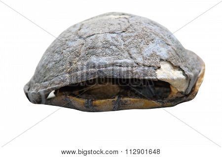 Isolated Dead Turtle Carcass